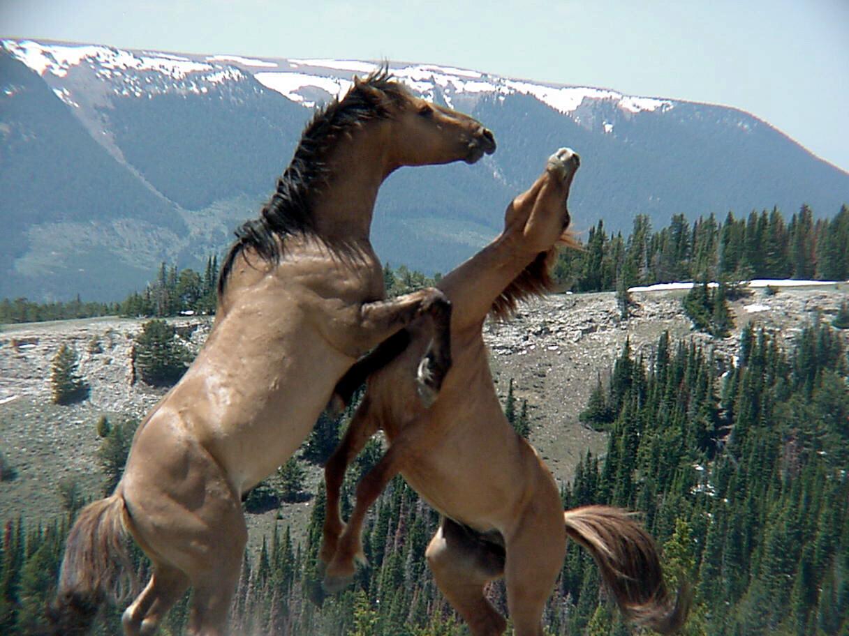 Download Wallpaper Horse Spring - gpw-20040625b-original-bureau-of-land-management-137-two-wild-horses-fight-spring-2003-pryor-mountain-wild-horse-range-montana  Gallery_19249.jpg