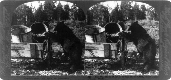 black-bear-in-yellowstone_20330_600x450