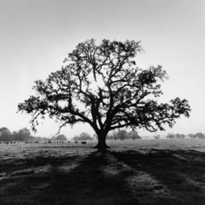 Ansel Adams; Oak Tree,  Sunrise